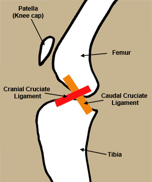 Healthy Cranial Cruciate Ligament