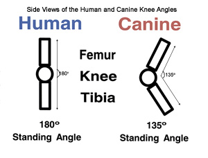 Human and Dog Knees